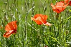 Papaver rhoeas meadow flower in bloom royalty free stock photo