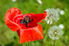 Papaver rhoeas; Poppies on a meadow Stock Photos