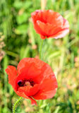 Papaver rhoeas red flower Royalty Free Stock Image