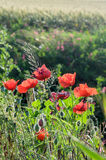Papaver rhoeas red flowers Stock Photos