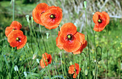 Papaver rhoeas, a species of flowering plant in the poppy family Royalty Free Stock Image
