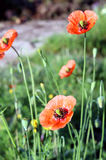 Papaver rhoeas, a species of flowering plant in the poppy family Stock Image