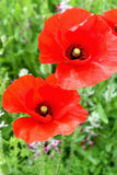 Papaver rhoeas, a species of flowering plant in the poppy family Royalty Free Stock Photo