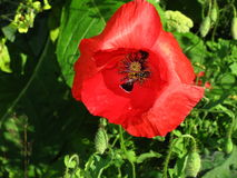 Papaver Rhoes fotografia royalty free