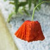Papaver rojo, mojado hermoso y pesado de la lluvia y de las gotas de agua fotos de archivo