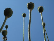 Papaver somniferum - Capsules Stock Photos