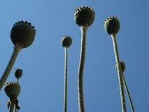 Papaver somniferum - Capsules. Opium poppy, Papaver somniferum (Capsules Stock Photos