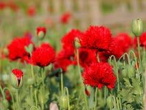 Papaver somniferum known as poppy tears or lachryma papaveris Royalty Free Stock Photos