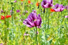 Papaver somniferum L photo de Poppy Colorful Field Background Stock photo libre de droits