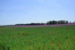 Papaver somniferum L Violet Poppy Colorful Field Stock Photo fotografia stock
