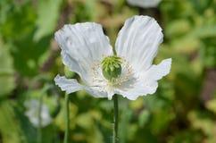 papaver somniferum opium poppy Zdjęcie Royalty Free
