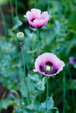 Papaver somniferum, Opium poppy, marble-flower Stock Photography