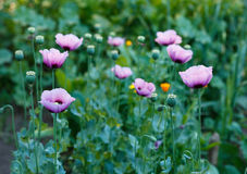 Papaver somniferum, Opium poppy, marble-flower Stock Images