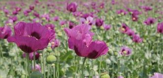 Papaver somniferum, opium poppy field Royalty Free Stock Image