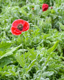 Papaver Somniferum  in Thailand Stock Photography