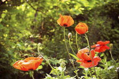 Papaver somniferum. As people learned of the power of opium, demand for it increased. Many countries began to grow and process Papaver somniferum to expand its Stock Photo