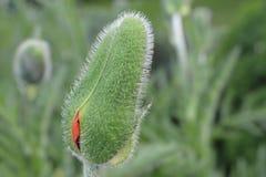 Papaver in tuin, Finland Stock Foto's