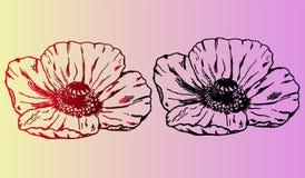 Papaverbloem - close-up Seth, plantkunde op een mooie gradiëntachtergrond Royalty-vrije Stock Foto's