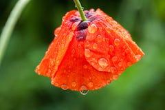 Papaverbloem in dauw Stock Afbeelding