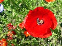 Papaverbloem met een bij die honing op een groene achtergrond verzamelen stock afbeeldingen