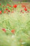 Papaverbloemen Stock Afbeeldingen