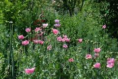 Papaverbloemen en struiken in de tuin Royalty-vrije Stock Afbeeldingen