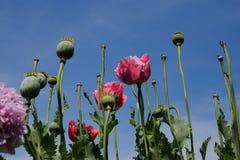 Papaverbloemen en struiken in de tuin Royalty-vrije Stock Afbeelding
