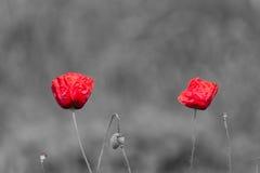 Papaverbloemen met abstracte zwart-witte achtergrond Stock Foto's