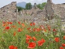 Papaverbloemen op de ruïnes van Capua vetere stock fotografie