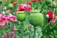 Papavercapsules Royalty-vrije Stock Afbeelding