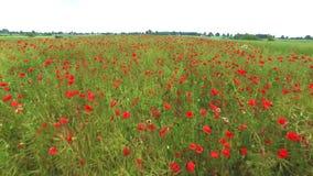 Papavergebied, honderden rode bloemen, luchtmening stock videobeelden