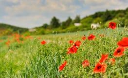 Papavergebied met bomen, huizen en blauwe hemel, Tsjechisch platteland Stock Fotografie