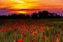Papavergebieden op zonsondergang royalty-vrije stock foto
