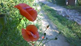 Papaveri al giorno soleggiato Immagini Stock
