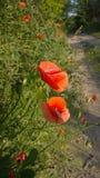 Papaveri al giorno soleggiato Immagini Stock Libere da Diritti