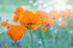 Papaveri arancio nel campo Fuoco selettivo molle Immagine artistica Fotografia Stock Libera da Diritti