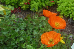 Papaveri arancioni Fotografia Stock Libera da Diritti