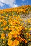 Papaveri che fioriscono sul pendio di collina immagine stock libera da diritti