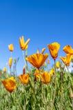 Papaveri che fioriscono sul pendio di collina fotografia stock libera da diritti