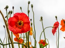 Papaveri che fioriscono in un campo Gocce di pioggia sui petali rossi immagine stock