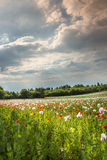 Papaveri coltivati rossi e contro il chiaro cielo Fotografia Stock Libera da Diritti