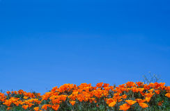 Papaveri dei wildflowers di California Fotografia Stock