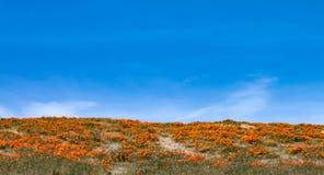 Papaveri dei wildflowers di California Immagini Stock