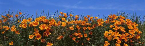 Papaveri di California Fotografie Stock