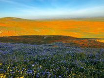 Papaveri di California fotografia stock libera da diritti