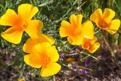 Papaveri di California in un campo con i fiori porpora Immagine Stock