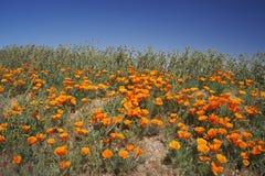 Papaveri di California vicino a Lancaster Fotografie Stock Libere da Diritti