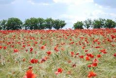 papaveri di campo rossi Fotografia Stock