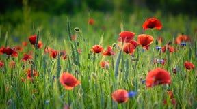 Papaveri di fioritura Immagini Stock Libere da Diritti