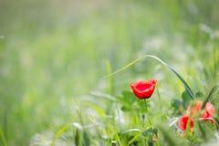 Papaveri di fioritura Fotografia Stock Libera da Diritti